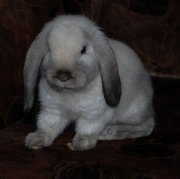 Продажа декоративных вислоухих крольчат!!