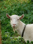 Зааненская коза,  донецк