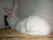 Продам кроликов-акселератов