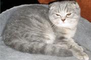 питомник британских и шотландских кошек golden glow Мариуполь