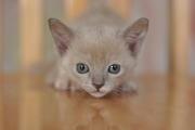 Продам котят европейской бурмы