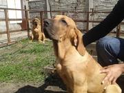 щенки фила бразилейро(2 девочки)