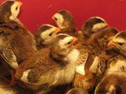 Птенцы цесарок - суточные,  недельные,  подрощенные