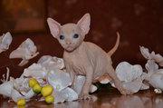 Продаются голорожденные котята породы канадский сфинкс различных окрас