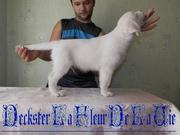Перспективный щенок породы Золотистый Ретривер