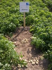 картофель семенной элита и первая репродукция