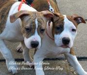 Продаются эксклюзивные щенки американского стаффордширского терьера.