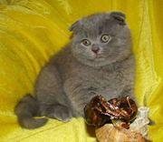 Котик шотландской породы.