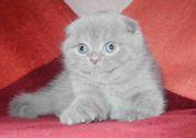 Котик шотландский вислоухий.