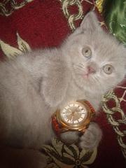котята шотландские с родословной