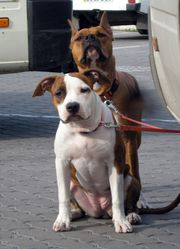 Питомник предлагает эксклюзивных щенков американского стаффордширского