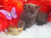 Шотландские котята с родословной.