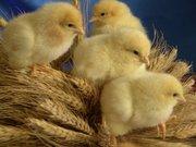 Суточные цыплята бройлера Кобб-500,  инкубация