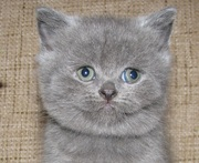 Кошечка шотландской породы