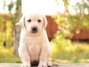 щенки лабрадора -  лучший антидепрессант