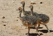 Продам страусов