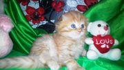 Котенок Скоттиш фолд ищет любящих хозяев