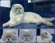 Вислоухий голубоглазый красавец кот на вязку.
