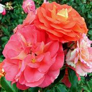 Саженцы роз продам