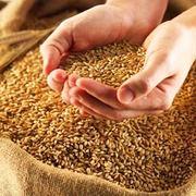 Организация закупает семечку масличную,  пшеницу фуражную