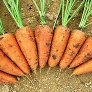 Морковь 24 руб.