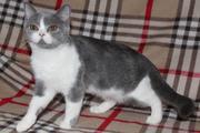 Породистые котята шотландской породы