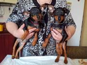 Продам чудесных щенков породы цвергпинчер!!!