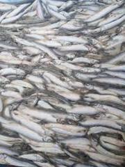 Продам рыбу см