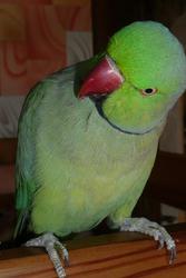 Продам ожерелового попугая с клеткой